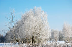 Árboles de abedul debajo de la nieve Foto de archivo