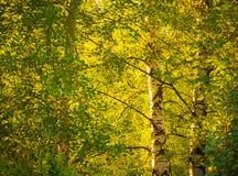 Árboles de abedul debajo del sol brillante Fotos de archivo