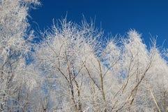 Árboles de abedul debajo de la nieve Imagenes de archivo