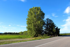 Árboles de abedul del borde de la carretera Fotos de archivo libres de regalías