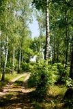 Árboles de abedul del bosque Fotos de archivo libres de regalías