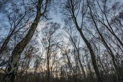 Árboles de abedul del bosque de Sherwood Imagen de archivo libre de regalías