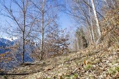 Árboles de abedul del camino de los árboles en un cielo azul Foto de archivo