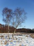 Árboles de abedul del invierno Imágenes de archivo libres de regalías