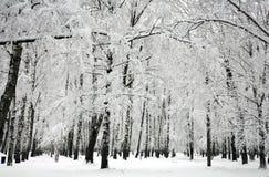 Árboles de abedul del invierno Imagen de archivo libre de regalías