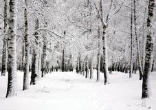 Árboles de abedul del invierno en el día de abril de la primavera Imagen de archivo