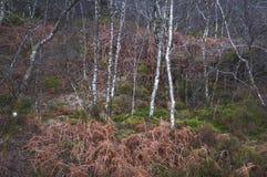 Árboles de abedul del invierno que comparten una madera con el helecho muerto Foto de archivo libre de regalías