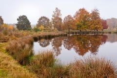Árboles de abedul del otoño Fotografía de archivo