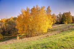 Árboles de abedul del otoño Foto de archivo libre de regalías