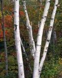 Árboles de abedul del otoño Imagen de archivo libre de regalías