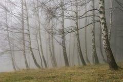 Árboles de abedul del otoño Fotos de archivo