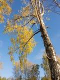 Árboles de abedul del otoño Foto de archivo