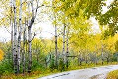 Árboles de abedul del otoño a lo largo del camino imagenes de archivo