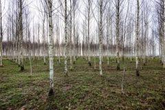 Árboles de abedul del otoño que crecen en líneas con las ramas desnudas Fotos de archivo