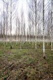 Árboles de abedul del otoño que crecen en líneas con las ramas desnudas Imágenes de archivo libres de regalías