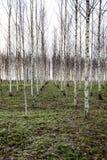 Árboles de abedul del otoño que crecen en líneas con las ramas desnudas Imagen de archivo