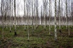 Árboles de abedul del otoño que crecen en líneas con las ramas desnudas Fotos de archivo libres de regalías