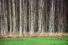 Árboles de abedul del otoño que crecen en líneas con las ramas desnudas Foto de archivo