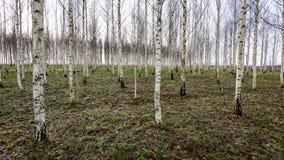 Árboles de abedul del otoño que crecen en líneas con las ramas desnudas Fotografía de archivo