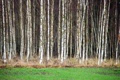 Árboles de abedul del otoño que crecen en líneas con las ramas desnudas Fotografía de archivo libre de regalías