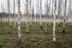 Árboles de abedul del otoño que crecen en líneas con las ramas desnudas Foto de archivo libre de regalías