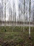Árboles de abedul del otoño que crecen en líneas con las ramas desnudas Imagenes de archivo