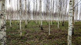 Árboles de abedul del otoño que crecen en líneas con las ramas desnudas Imagen de archivo libre de regalías