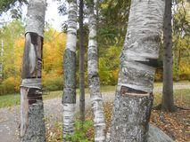 Árboles de abedul del parque del Algonquin Fotos de archivo