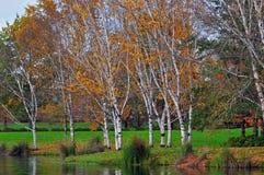 Árboles de abedul del parque en otoño Imagenes de archivo