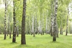 Árboles de abedul del verano en el bosque, arboleda hermosa del abedul, abedul-madera Imagenes de archivo