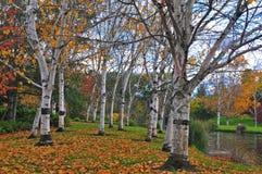 Árboles de abedul descubiertos en otoño imagenes de archivo