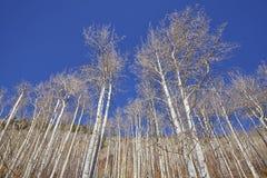 Árboles de abedul deshojados del otoño en un día soleado Fotos de archivo libres de regalías