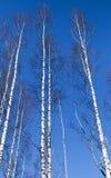 Árboles de abedul desnudos blancos altos sobre el cielo azul Foto de archivo