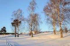 Árboles de abedul desnudos en una colina, invierno Imagenes de archivo