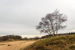 Árboles de abedul desnudos en una reserva de naturaleza con las dunas de arena Foto de archivo libre de regalías
