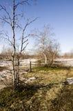 Árboles de abedul desnudos y cielo azul en la primavera temprana Nieve en algunos lugares Imagen de archivo libre de regalías