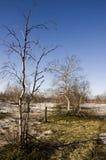 Árboles de abedul desnudos y cielo azul en la primavera temprana Nieve en algunos lugares Imagenes de archivo