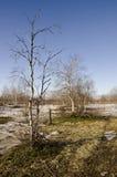 Árboles de abedul desnudos y cielo azul en la primavera temprana Nieve en algunos lugares Imagen de archivo