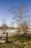Árboles de abedul desnudos y cielo azul en la primavera temprana Nieve en algunos lugares Fotos de archivo libres de regalías