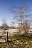 Árboles de abedul desnudos y cielo azul en la primavera temprana Nieve en algunos lugares Foto de archivo