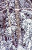 Árboles de abedul después de la tormenta de la nieve Imágenes de archivo libres de regalías