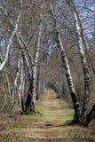 Árboles de abedul doblados viejos sobre la trayectoria que camina desgastada Fotografía de archivo libre de regalías