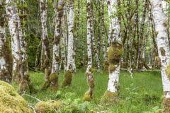 Árboles de abedul e hierba verde enorme Foto de archivo