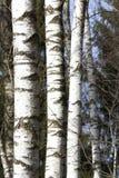 Árboles de abedul en último invierno Fotos de archivo libres de regalías