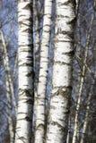 Árboles de abedul en último invierno Imágenes de archivo libres de regalías