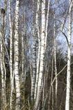 Árboles de abedul en último invierno Imagenes de archivo
