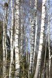 Árboles de abedul en último invierno Imagen de archivo libre de regalías