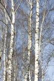 Árboles de abedul en último invierno Foto de archivo libre de regalías