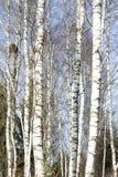 Árboles de abedul en último invierno Fotografía de archivo libre de regalías