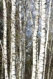 Árboles de abedul en último invierno Foto de archivo